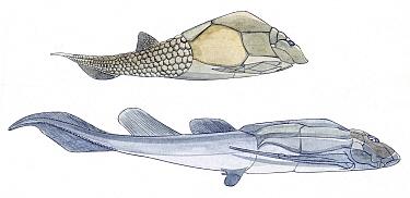 Illustration of Placoderm fossils Pencil and watercolor painting  -  Juan Manuel Borrero/ npl