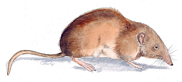 Illustration of Greater White-toothed Shrew (Crocidura russula) Pencil and watercolor painting  -  Juan Manuel Borrero/ npl
