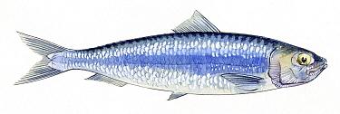 Illustration of European pilchard (Sardina pilchardus) Pencil and watercolor painting  -  Juan Manuel Borrero/ npl