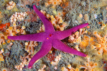 Bloody Henry Starfish (Henricia oculata) Les Dents, Sark, British Channel Islands, August  -  Sue Daly/ npl