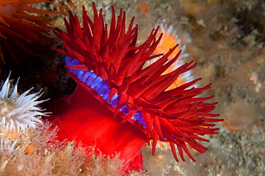 Beadlet anemone (Actinia equina) Gouliot Caves, Sark, British Channel Islands, July  -  Sue Daly/ npl
