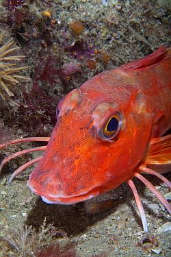 Red Gurnard (Aspitrigla, Chelidonichthys cuculus) Les Dents, Sark, British Channel Islands, July  -  Sue Daly/ npl