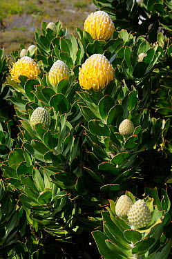 Pincushion (Leucospermum conocarpodendron) Cape Point, Table Mountain National Park, Cape Town, South Africa, October  -  Tony Phelps/ npl