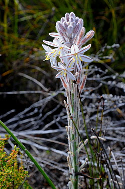 Grass Lily (Chlorophytum triflorum) Cape Point, Table Mountain Nat Park, Cape Town, South Africa, October  -  Tony Phelps/ npl