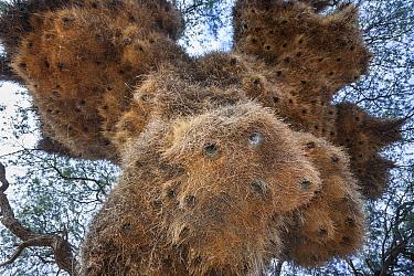 Sociable weaver (Philetairus socius) looking up at mass nesting site, Tswalu Kalahari private game reserve, South Africa, January  -  Ann & Steve Toon/ npl