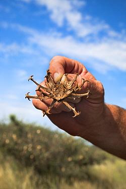Devil's claw (Harpagophytum procumbens) fruit, Tswalu Kalahari private game reserve, Northern Cape, South Africa, January 2012  -  Ann & Steve Toon/ npl