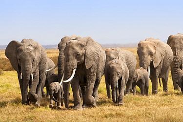 African Elephant (Loxodonta africana) family herd on the move, Amboseli National Park, Kenya  -  Ann & Steve Toon/ npl