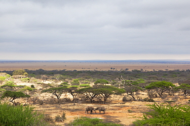 African elephants (Loxodonta africana) two bulls sparring at the waterhole in front of the lodge, Ol Donyo Wuas, Mbirikani Group Ranch, Amboseli-Tsavo ecosystem, Chyulu Hills, Kenya  -  Ann & Steve Toon/ npl