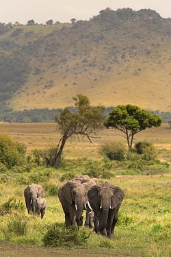 African elephant (Loxodonta africana) herd walking to the river to drink, Masai Mara Game Reserve, Kenya  -  Ann & Steve Toon/ npl
