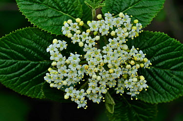 (Viburnum sp) tree blossom in flower, Somerset, UK April  -  Colin Varndell/ npl