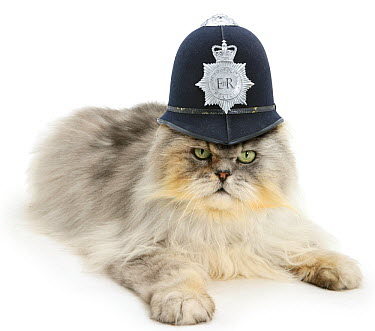 Silver tabby chinchilla Persian male cat, Cosmos, wearing a police helmet  -  Mark Taylor/ npl