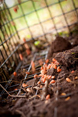 Badger (Meles meles) bovine tuberculosis vaccination deployment Peanuts are used to attract badgers into open live traps for approx one week prior to vaccination to allow them to become aclimatised to...  -  Tom Marshall/ npl