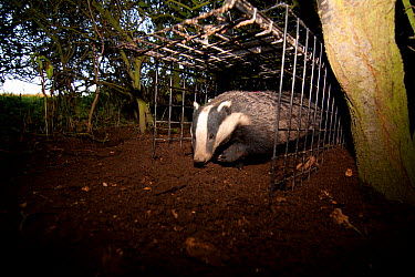 Badger (Meles meles) bovine tuberculosis vaccination deployment After vaccine administration and a red stock-mark (upper back, just visible) the badger is released If captured again on the second day,...  -  Tom Marshall/ npl