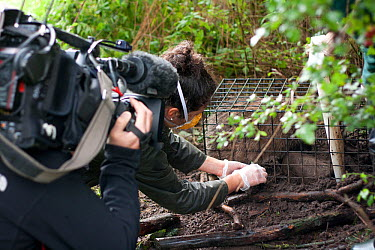 Badger (Meles meles) bovine tuberculosis vaccine being administered by Shropshire Wildlife Trust in autumn 2012, with BBC film crew observing The badger is then sprayed with a stock-marker paint mark...  -  Tom Marshall/ npl