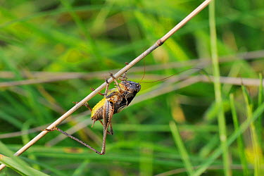 Male Dark bush cricket (Pholidoptera griseoaptera) clinging upside down to a dead grass stem, chalk grassland meadow, Wiltshire, August, UK  -  Nick Upton/ npl