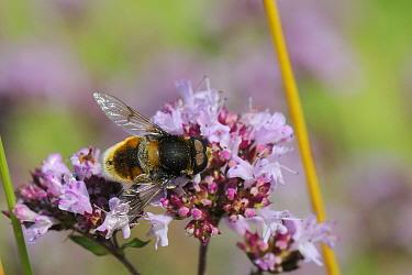 Hoverfly (Eristalis intricarius) male feeding on flowering Wild marjoram (Origanum vulgare) chalk grassland meadow, Wiltshire, UK, July  -  Nick Upton/ npl
