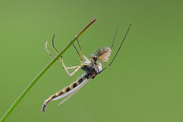 Male Non-biting chironomid midge (Chironomus sp) with plumose antennae resting on a dead plant stem on heathland, Sandy, Bedfordshire, UK, April  -  Nick Upton/ npl