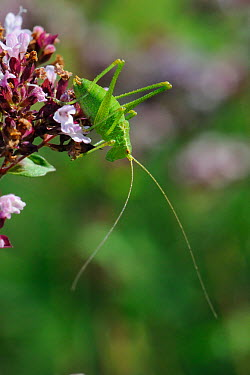 Speckled bush cricket (Leptophyes punctatissima) standing on Wild marjoram flower (Origanum vulgare), chalk grassland meadow, Wiltshire, UK, July  -  Nick Upton/ npl