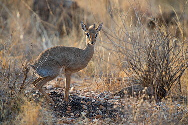 Kirk's Dikdik (Madoqua kirki) marking territory by defecating, Samburu National Reserve, Kenya, Africa  -  Jeff Vanuga/ npl