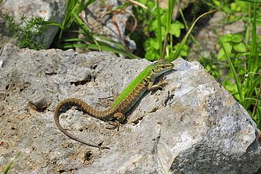 Italian wall lizard (Podarcis siculus) north of San Nicandro Garganico, Gargano, Italy  -  Robert Thompson/ npl