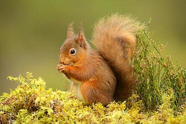 Red squirrel (Sciurus vulgaris) feeding, Black Isle, Scotland, UK, February  -  Terry Whittaker/ npl