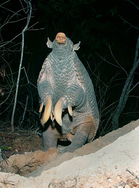 Giant Armadillo (Priodontes maximus), adult female standing and sniffing air Pantanal, Brazil, October  -  Kevin Schafer/ npl