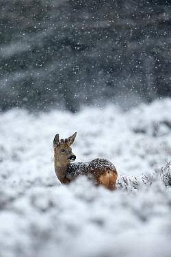 Roe deer (Capreolus capreolus) male in a snowy heather landscape during heavy snowfall Kampina Nature reserve, Oisterwijk, The Netherlands, January  -  David Pattyn/ npl