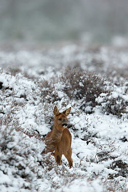 Roe deer (Capreolus capreolus) young calf, in a snowy heather landscape Kampina Nature reserve, Oisterwijk, The Netherlands January  -  David Pattyn/ npl