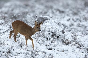 Roe deer (Capreolus capreolus) young calf in a snowy heather landscape Kampina Nature reserve, Oisterwijk, The Netherlands January  -  David Pattyn/ npl