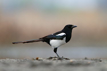 Common magpie (Pica pica) profile, Bulgaria April  -  David Pattyn/ npl