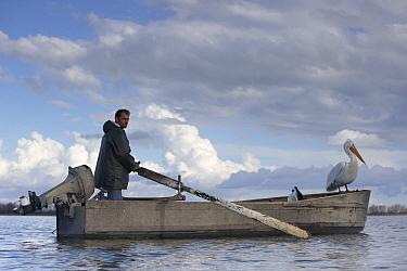 Fisherman with Dalmatian Pelicans (Pelecanus crispus) on his boat during his fishing activities Lake Kerkini, Greece, February  -  David Pattyn/ npl
