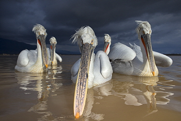 Dalmatian Pelican (Pelecanus crispus) group of pelicans with dark storm clouds approaching, Lake Kerkini, Greece, February  -  David Pattyn/ npl