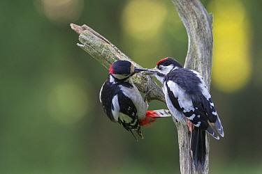 Male Great spotted woodpecker (Dendrocopos major) feeding a juvenile, Oisterwijk, The Netherlands, June  -  David Pattyn/ npl