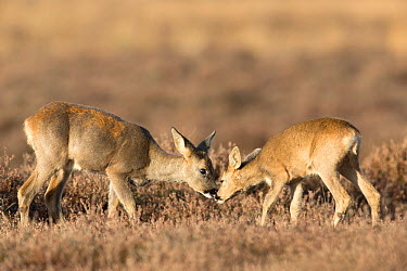 Female Roe deer (Capreolus capreolus) and calf licking each other, The Netherlands, November  -  David Pattyn/ npl