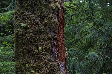 Temperate rainforest with ancient Red cedar tree (Thuja plicata) Pacific Rim National Park, Vancouver Island, British Columbia, Canada, August  -  David Pattyn/ npl