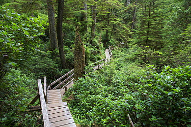 Temperate rainforest scenic with ancient Red cedar trees (Thuja plicata) and a forest trail walkway for visitors Pacific Rim National Park, Vancouver Island, British Columbia, Canada, August  -  David Pattyn/ npl
