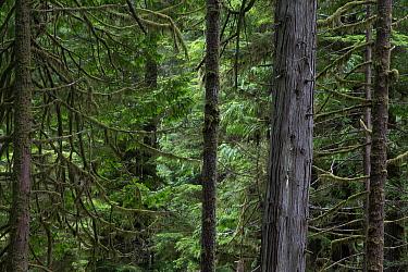 Temperate rainforest with ancient Red cedar trees (Thuja plicata) Pacific Rim National Park, Vancouver Island, British Columbia, Canada, August  -  David Pattyn/ npl