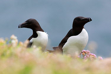 Razorbill (Alca torda) pair sitting at the edge of a cliff Great Saltee, Saltee Islands, Co Wexford, Ireland, June  -  David Pattyn/ npl