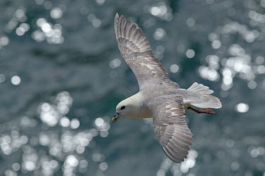 Fulmar (Fulmarus glacialis) in flight Great Saltee, Saltee Islands, Co Wexford, Ireland, June  -  David Pattyn/ npl