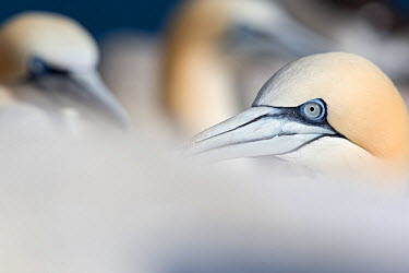 Gannet (Morus bassanus) close-up portrait Great Saltee, Saltee Islands, County Wexford, Ireland, June  -  David Pattyn/ npl
