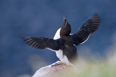 Razorbill (Alca torda) sitting at the edge of a cliff and flapping its wings Great Saltee, Saltee Islands, Co Wexford, Ireland, June  -  David Pattyn/ npl