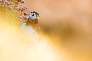 Puffin (Fratercula arctica) through soft focus vegetation Great Saltee, Saltee Islands, County Wexford, Ireland, June  -  David Pattyn/ npl