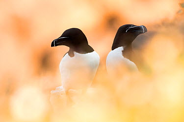 Razorbill (Alca torda) pair sitting through soft focus vegetation Great Saltee, Saltee Islands, Co Wexford, Ireland, June  -  David Pattyn/ npl
