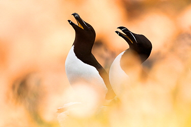 Razorbill (Alca torda) pair calling, between soft focus vegetation Great Saltee, Saltee Islands, Co Wexford, Ireland, June  -  David Pattyn/ npl