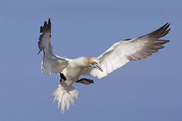 Gannet (Morus bassanus) landing in the colony Great Saltee, Saltee Islands, County Wexford, Ireland, June  -  David Pattyn/ npl