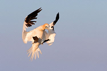 Gannet (Morus bassanus) landing in the colony Great Saltee, Saltee Islands, County Wexford, Ireland, June  -  David Pattyn/ npl