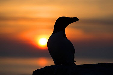 Razorbill (Alca torda) silhouette portrait, sitting at the edge of a cliff at sunset Great Saltee, Saltee Islands, Co Wexford, Ireland, June  -  David Pattyn/ npl