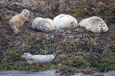 Harbor seals (Phoca vitulina) group resting on rocks Vancouver Island, British Columbia, Canada, August  -  David Pattyn/ npl