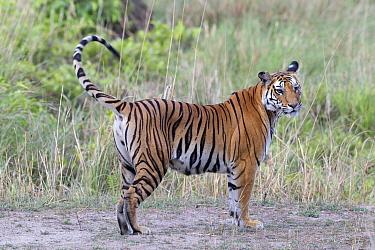 Female Bengal tiger (Panthera tigris tigris) with one eye damaged after a fight Bandhavgarh National Park, Madhya Pradesh, India  -  David Pattyn/ npl