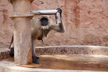 Hanuman langur, Northern Plains Grey Langur (Semnopithecus entellus) drinking from a water tap at Ranthambore fort Ranthambore National Park, Rajasthan, India  -  David Pattyn/ npl